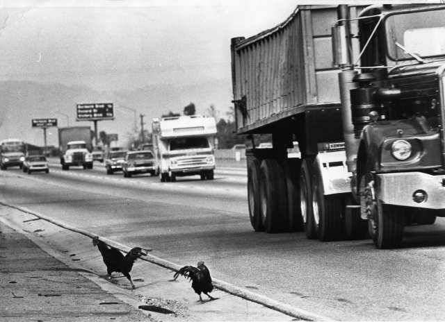 "The Hollywood Freeway Chickens A little more modern than my usual posts but I don't think I've ever enjoyed reading a Wikipedia article as much as I have this one: The Hollywood Freeway chickens are a colony of feral chickens that live under the Vineland Avenue off-ramp of the Hollywood Freeway in Los Angeles, California. It is still not definitively known how they came to be there. Chickens underneath the Vineland off-ramp became local celebrities upon their arrival sometime around 1970. By 1976, the flock included about 50 chickens, which became known as ""Minnie's chickens"", named after Minnie Blumfield, an elderly retiree who fed them regularly.  When she became too frail to feed them, Actors and Others for Animals made arrangements to relocate the chickens. Nearly a hundred of the hens and roosters were relocated to a ranch, but not every member of the flock was apprehended, and those that remained spawned a new population. Subsequent removal efforts in the following years all had a similar outcome. In fact, the first colony at the Vineland ramp has spread and there is now a second colony, two miles away. Beginning in the 1990s, twenty years after the colony's arrival, various individuals started coming forward claiming to know the mystery of their origin. Among them: In 1990, Jeff Stein of Granada Hills, California claimed that in 1968, when his wife Janet and her twin sister were 12, they learned that a nearby school that raised animals was closing and that its resident chickens would be killed. The twins scooped them up and succeeded in hiding them at home until the roosters started waking up every morning at 5 a.m. The chickens couldn't stay, so the girls hiked through a field to an open area near the freeway and deposited two pillowcases full of them there. In 1992, a North Hollywood man who would give only his first name (""Michael"") claimed that as a child he and his brother put their pet chickens under the freeway after neighbors repeatedly complained about them. ""We were afraid to confess after (their numbers) got out of hand because we thought the city would bill us"", he said. The widely believed, but never verified explanation about an overturned poultry truck on the freeway resurfaced in 2000 when Joe Silbert of Laguna Hills, California claimed to be the driver of the legendary vehicle, saying, ""I tried to avoid a lady who cut in front of me and I turned over. I was taking anywhere from 500 to 1,000 chickens back from the Valley to a slaughterhouse in L.A. They were all hens. We never picked up roosters. These were hens that had stopped laying. They would eat but not produce, so they were costing farmers money. Anyway, I had a crate of eggs on the seat beside me, and when I turned over, my head fell into the crate. But I wasn't hurt. I started chasing one chicken and it was on the TV news that night."" A colony of hens no longer laying eggs would naturally not be able to renew itself, making this explanation rather dubious. Nevertheless, there was at least one witness to the overturned poultry truck explanation. A driver on the way to work in Glendale was proceeding south on the 5 Freeway when she spotted three cars off to the side of the road that had been involved in a multiple rear-end collision. Blood and feathers were all over the freeway. On the overpass right above the accident site was a truck loaded with poultry cages, and each cage contained multiple chickens. Below, on the freeway, a smashed poultry cage was off to one side, and chickens could be seen walking around in the freeway meridian. [Image Source]"