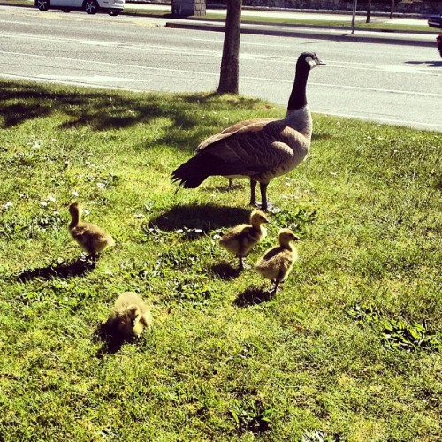 Mama and her babies. I love my new friends at Stanley Park (at Lord Stanley Suites On The Park)