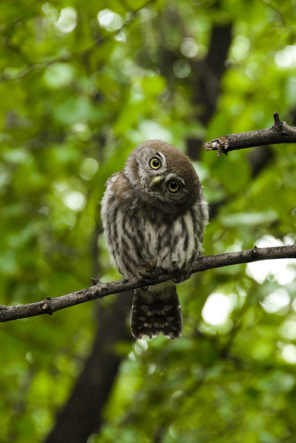 fairy-wren:  pearl-spotted owl (photo by jjay69)  ola, k ase? @dart3aga