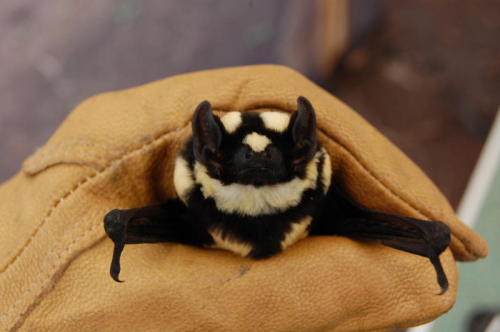 scotchtrooper:  smallnightbird:  New species of bat found, Niumbaha superba, and it's adorable.  Badger bat!!! ;___;  O_O I love it! <3