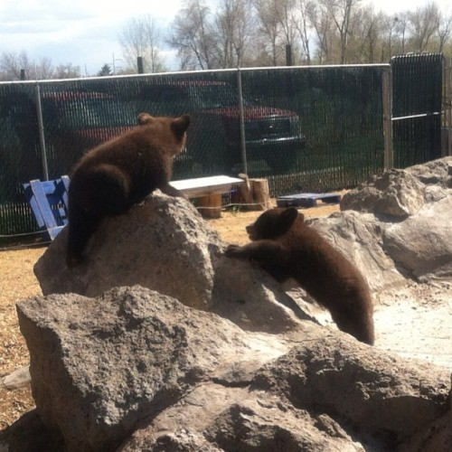 Baby bears!!!! Yellowstone Bear World was so much fun. #icort #icortfieldtrips