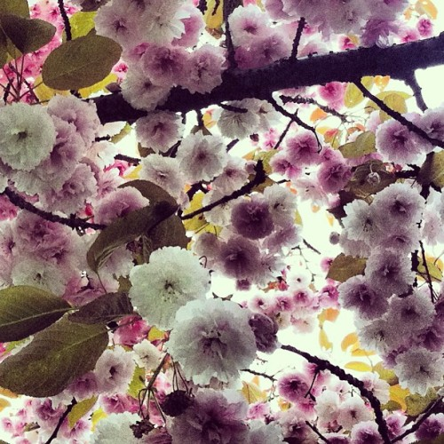Good morning! #seattlesakura #sakura (at Phinney Ridge Neighborhood)