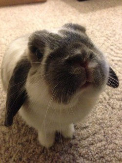 dailybunny:  Do You Have a Treat for Me? Please Say Yes. Happy Bunday! Thanks, Gillian!