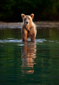 eqiunox:  Last Bear Standing  by Ian Plant on Fivehundredpx.