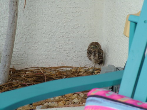 D'awww! My dad just emailed this to me. He took this photo outside his lanai in Cape Coral, FL. I guess this little guy keeps coming back. How cute!!! I'm jealous. Not too much wildlife but snow birds and deer up here in MA right now. I haven't even seen any of the turkey's that usually run amok in my yard. Zooooooooom!