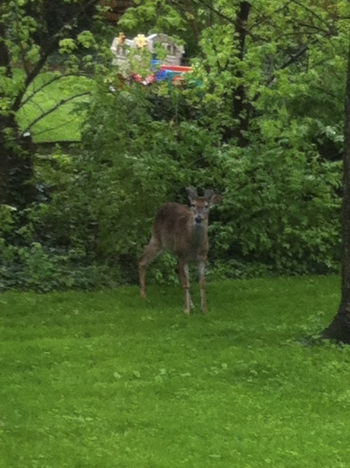 Bambi decided to pay us a visit.  J