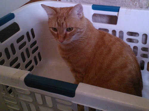 get out of there cat. you are not laundry. I do not wear you.