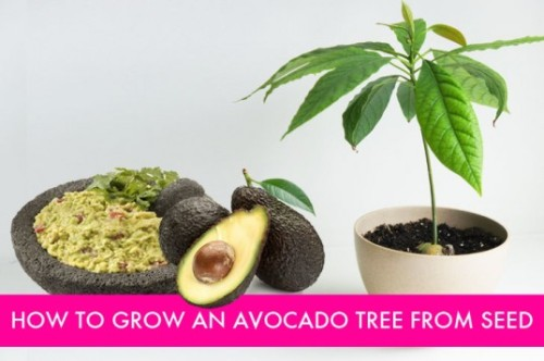 HOW TO: Grow an Avocado Tree from Seed | Inhabitat - Sustainable Design Innovation, Eco Architecture, Green Building gardenbear, inhabitat.com Avo­ca­dos are one of the won­der­ful fruits of sum­mer. High in nutri­tion and fla­vor, noth­ing sig­nals the start of sum­mer like a zesty lime gua­camole dip with tor­tilla chips. The next time you …