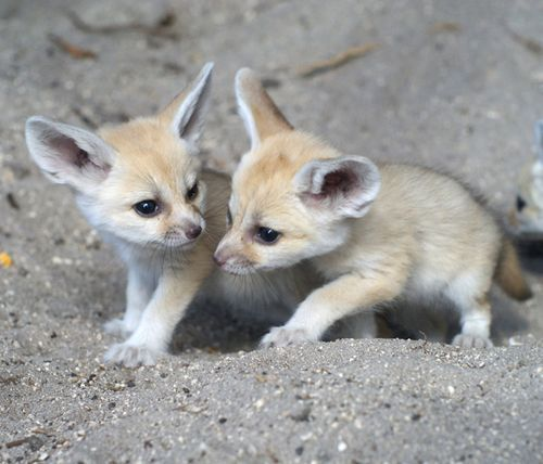 cup-fullofhappiness:  Fennec Foxes.  One of the most adorable creatures on earth!