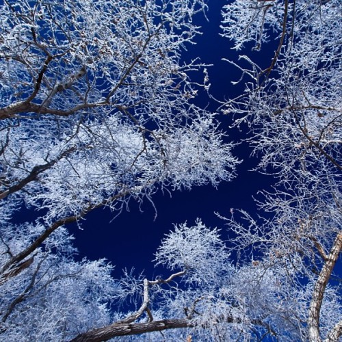 #winter #frost #blue #white #tree #ice