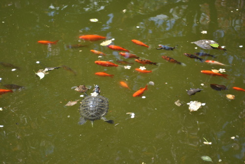 Turtles and fish in the lily pond.