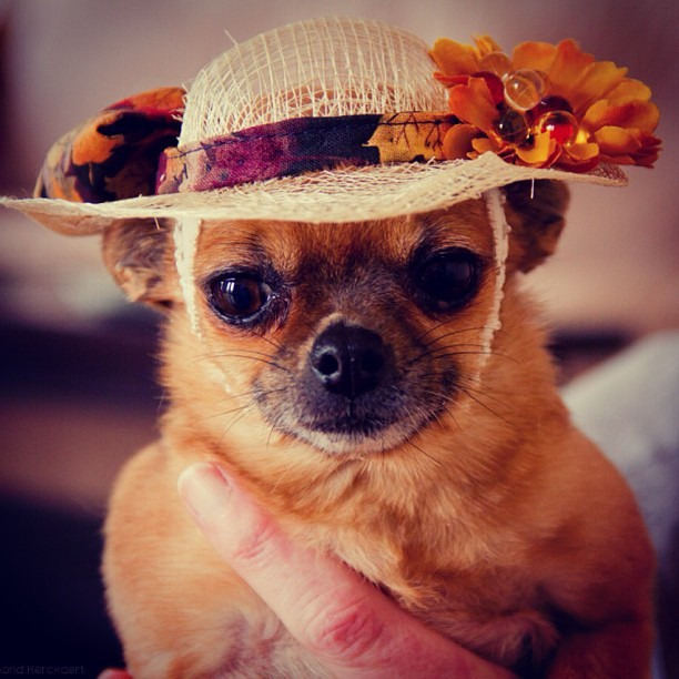 Kiwi are beloved chihuahua is a true lady #chihuahua in #style #fashionfirst #whatiwore #sunhat #sundaystyle