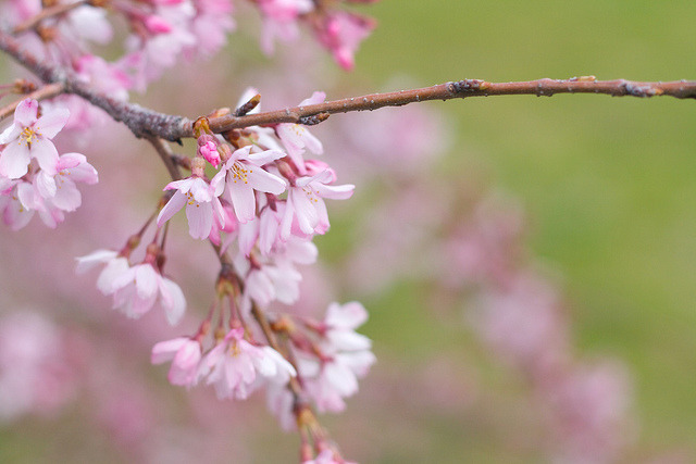 a weeping cherry. on Flickr.
