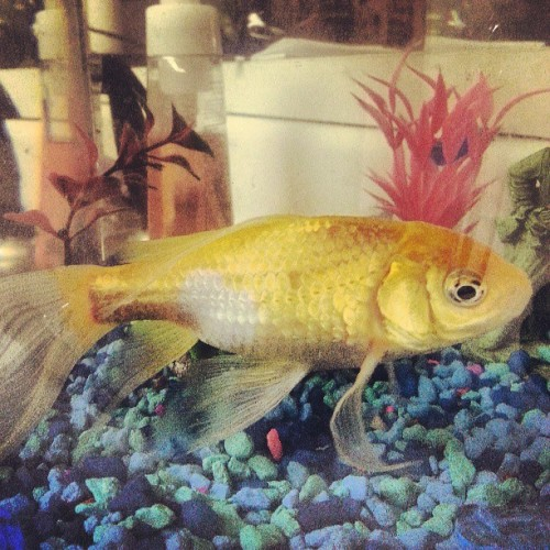 Fat Fish was not amused over having his picture taken. #goldfish #pet