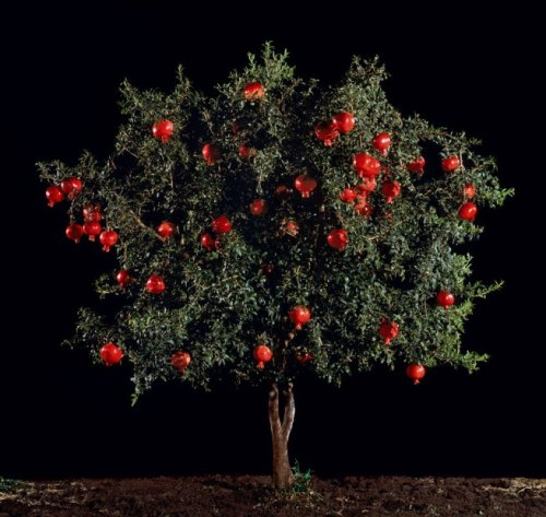 Pomegranate (Rimon), 2010 Tal Shochat