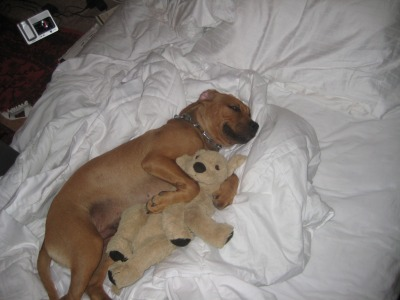 animalswithstuffedanimals:  Sergio was obsessed with that stuffed dog, I would always hide it from him when i babysat him cuz I thought he wanted to eat itThen one day i got out of the shower and he was just cuddling it asleep on my bed submitted by Michelle S