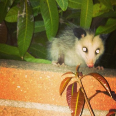 Meet Gary, the backyard baby possum. Janice is lurking not far off I assume. #possum #rodent #ew #baby #backyard #animal #nocturnal #creepy #orangecounty #oc #ca #california #may #2013 #spring #wall #tree #night #monday #rat
