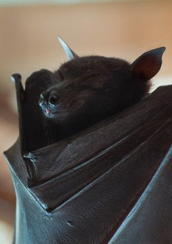 animals Bat night bats Witch vampire darkness goth gothic Baby Bats vamp VAMPIRIC dark blog witchy baby bat dark beauty little bats gothic beauty gothic blog creatures of the night witch life goth life so goth gothic lifestyle