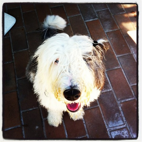Wet and wild #oldenglishsheepdog #summer #doggie