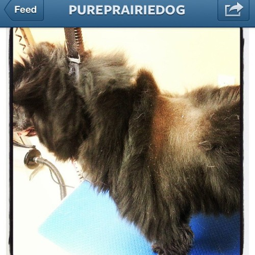 #repost #regram Don't ever shave your double coated dog! Pomeranian, golden, whatever….don't do it! Ruins the coat!