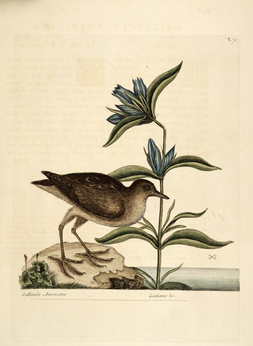 Gentiana catesbaei (Elliot's Gentian), native perennial to the north- and southeastern United States, and Gallinua Americana (Soree).  Mark Catesby, Natural History of Carolina, Florida and the Bahama Islands (1754).