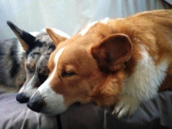 corgiaddict:  Sleeping brofurs