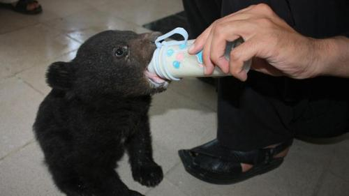 Milk of human kindness A 45-day-old black bear cub is nursed by a wildlife official after being found by children in a town on the edge of forest in north-west Pakistan. (Copyright: AFP/Getty Images)  Follow us on Facebook | Twitter or Submit something or Just Ask!