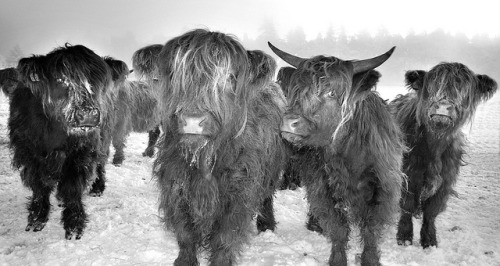 absolutescotland:  Higland Coo's by Stormrider-UK on Flickr.