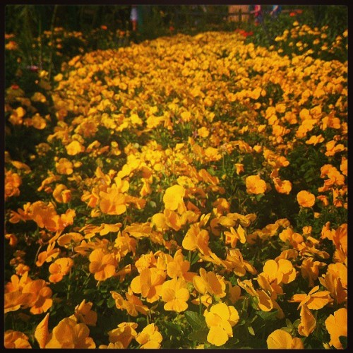 Follow the #yellow brick road…. #epcot #flowers #flowerandgardenfestival #epcotcenter #wdw #waltdisneyworld #disney #disneyworld #oz  (at Epcot International Flower & Garden Festival 2013)
