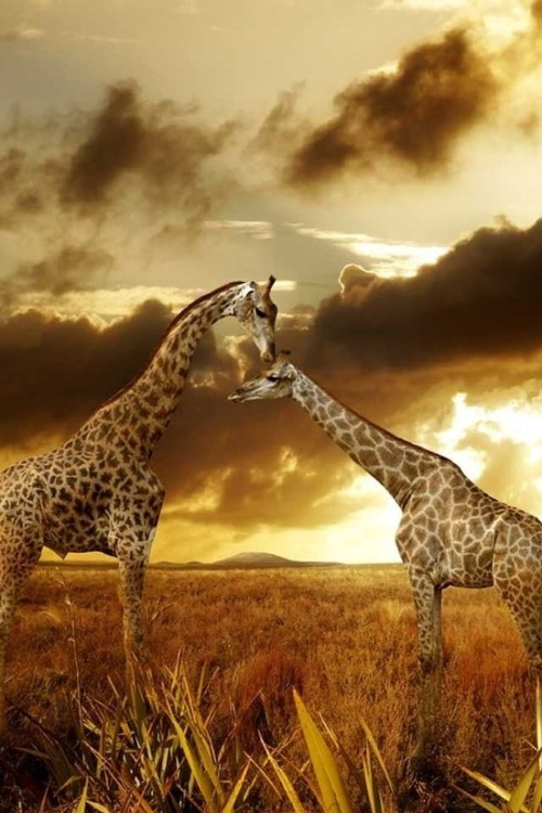eqiunox:  Giraffes in the sunset