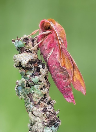 rhamphotheca:  dendroica:panecopanorama: A newly emerged Elephant Hawk Moth (Deilephila porcellus) climbs to the top of a lichen encrusted twig somewhere near Stockholm, Sweden, to let its wings dry. (photo: John Hallmen | Flickr)