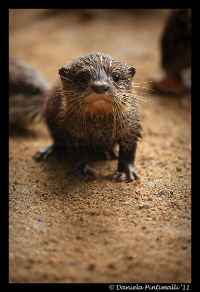 fuckyeahloveableanimals:  Baby Otter by =TVD-Photography