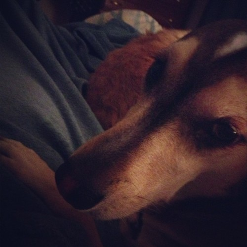 She won't let me get up. #anika #greyhound