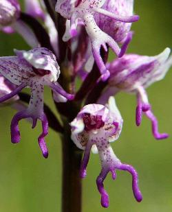 Monkey orchid (Orchis simia)! Found throughout Europe and northern Asia and Eurasia, this interesting orchid has a very familiar shape and emits an odor akin to feces.