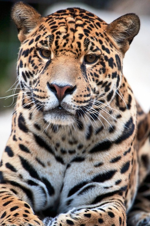 earth-song:  Interested Jaguarby *Seb-Photos