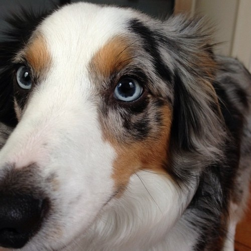 #nofilter #riot #dog #aussielove #miniaussie #inyoface  (at The AlyKat)