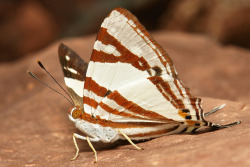 sinobug:  White Punch (Dodona deodata, Riodinidae) Pu'er, Yunnan, China See more Chinese butterflies on my Flickr site HERE…..