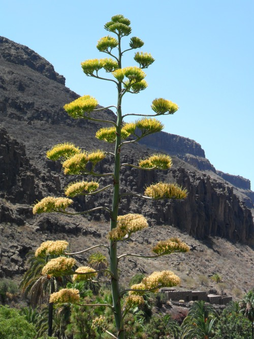 Cactus flower spike in the mountains of Gran Canaria, Canary Islands.