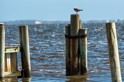Seagull on Piling on Flickr.Via Flickr: Blue Point - Long Island New York