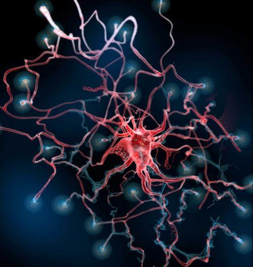 "After Brain Injury, New Astrocytes Play Unexpected Role in Healing  The production of a certain kind of brain cell that had been considered an impediment to healing may actually be needed to staunch bleeding and promote repair after a stroke or head trauma, researchers at Duke Medicine report. These cells, known as astrocytes, can be produced from stem cells in the brain after injury. They migrate to the site of damage where they are much more effective in promoting recovery than previously thought. This insight from studies in mice, reported online April 24, 2013, in the journal Nature, may help researchers develop treatments that foster brain repair. ""The injury recovery process is complex,"" said senior author Chay T. Kuo, M.D., PhD, George W. Brumley Assistant Professor of Cell Biology, Pediatrics and Neurobiology at Duke University. ""There is a lot of interest in how new neurons can stimulate functional recovery, but if you make neurons without stopping the bleeding, the neurons don't even get a chance. The brain somehow knows this, so we believe that's why it produces these unique astrocytes in response to injury."" Each year, more than 1.7 million people in the United States suffer a traumatic brain injury, according to the Centers for Disease Control and Prevention. Another 795,000 people a year suffer a stroke. Few therapies are available to treat the damage that often results from such injuries. Kuo and colleagues at Duke are interested in replacing lost neurons after a brain injury as a way to restore function. Once damaged, mature neurons cannot multiply, so most research efforts have focused on inducing brain stem cells to produce more immature neurons to replace them. This strategy has proved difficult, because in addition to making neurons, neural stem cells also produce astrocytes and oligodendrocytes, known as glial cells. Although glial cells are important for maintaining the normal function of neurons in the brain, the increased production of astrocytes from neural stem cell has been considered an unwanted byproduct, causing more harm than good. Proliferating astrocytes secrete proteins that can induce tissue inflammation and undergo gene mutations that can lead to aggressive brain tumors. In their study of mice, the Duke team found an unexpected insight about the astrocytes produced from stem cells after injury. Stem cells live in a special area or ""niche"" in the postnatal/adult brain called the subventricular zone, and churn out neurons and glia in the right proportions based on cues from the surrounding tissue. After an injury, however, the subventricular niche pumps out more astrocytes. Significantly, the Duke team found they are different from astrocytes produced in most other regions of the brain. These cells make their way to the injured area to help make an organized scar, which stops the bleeding and allows tissue recovery. When the generation of these astrocytes in the subventricular niche was experimentally blocked after a brain injury, hemorrhaging occurred around the injured areas and the region did not heal.  Kuo said the finding was made possible by insights about astrocytes from Cagla Eroglu, PhD, whose laboratory next door to Kuo's conducts research on astrocyte interactions with neurons. ""Cagla and I started at Duke together and have known each other since our postdoctoral days,"" Kuo said. ""To have these stem cell-made astrocytes express a unique protein that Cagla understands more than anyone else, it's just a wonderful example of scientific serendipity and collaboration."" Additionally, Kuo said first author Eric J. Benner, M.D., PhD, a former postdoctoral fellow who now has his own laboratory at Duke, provided key clinical correlations on brain injury as a physician-scientist and practicing neonatologist in the Jean and George Brumley Jr. Neonatal-Perinatal Research Institute. ""We are very excited about this innate flexibility in neural stem cell behavior to know just what to do to help the brain after injury,"" Kuo said. ""Since bleeding in the brain after injury is a common and serious problem for patients, further research into this area may lead to effective therapies for accelerated brain recovery after injury."""