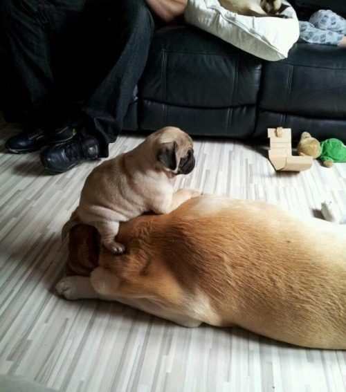 pugblug:  Just chillin' pug