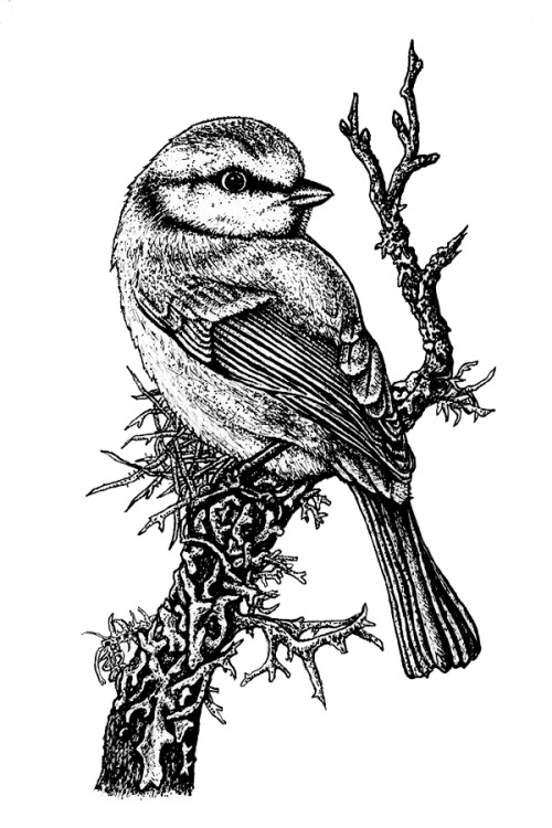 eatsleepdraw:  Blue tit on a lichen covered tree branch.Natalie Toms IllustrationTumblr | Facebook | Society6