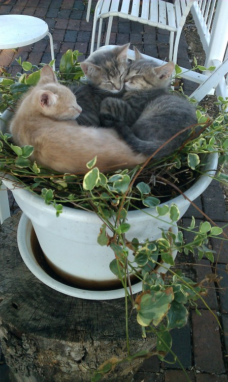 getoutoftherecat:  plants are not for sleeps, kittens, plants are for air.