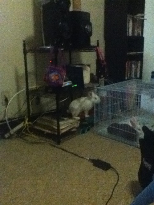 So we have three rabbits and one cage. One boy and two girls(?) so you can see the problem. The girls(?) are younger than the boy and they are also smaller than him so we keep them separated. So whenever we take him out of his house and let him run around, he jumps up on the cage if it is on the floor and gives us the evil eye. It's funny until we have to put him in his house and he decides to scratch up our arms, then it just sucks.