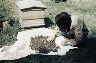 Beekeeping in Britain during the Second World WarCollecting a swarm of bees.