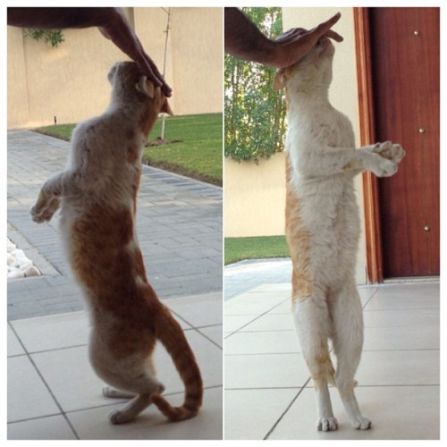 Training my cat to walk on two legs 😸 #cat #cats #home #dubai #uae #pet #animal #love #walk #stand #my #life #pussycat #play #fun #lol