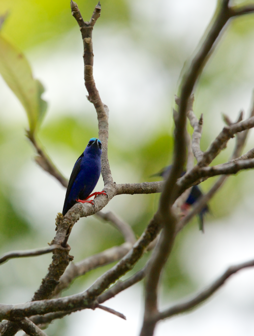 njwight:  My first successful capture of a red-legged honeycreeper! Gorgeous little guy.