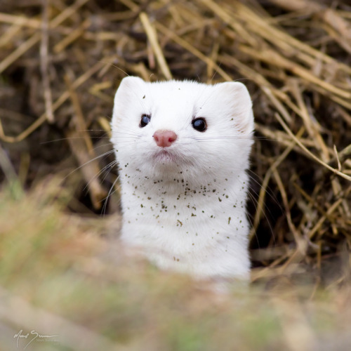 llbwwb:  Long-tailed Weasel in Ermine (by m_Summers)