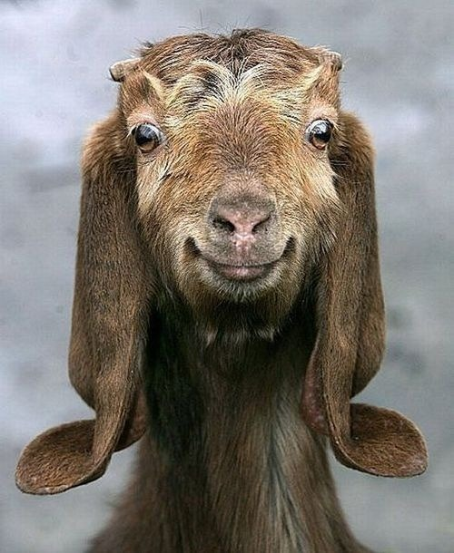 fortheloveofpawple:  A very happy looking goat! (via Animals | Land & Above)