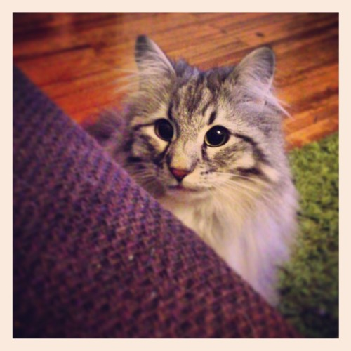 My sweetheart Pippilotta #cat #cats #kitten #kitty #norwegian #norwegiancat #catsofinstagram #instacats #petsofinstagram #pippilotta